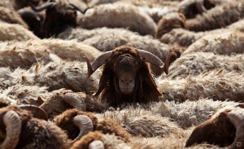 Забой домашнего скота. Часть 2 из 4